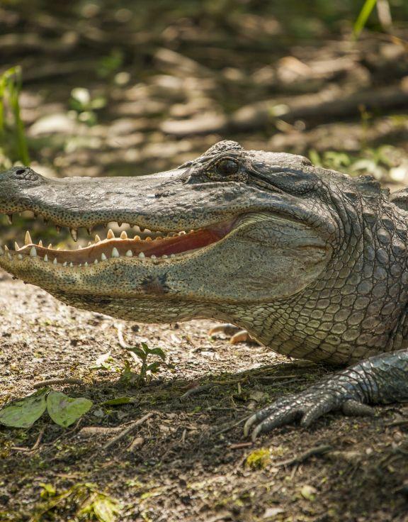Bayou Black Airboat Swamp Tours