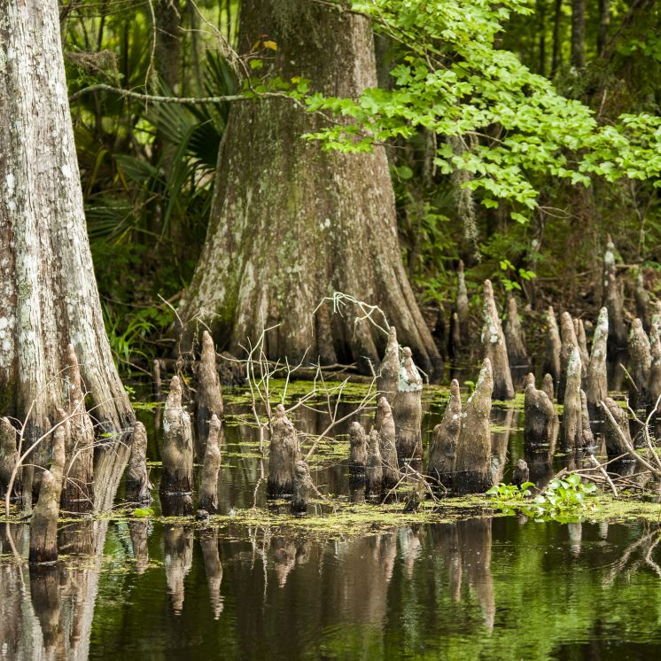 Atchafalaya Basin Backwater Tours